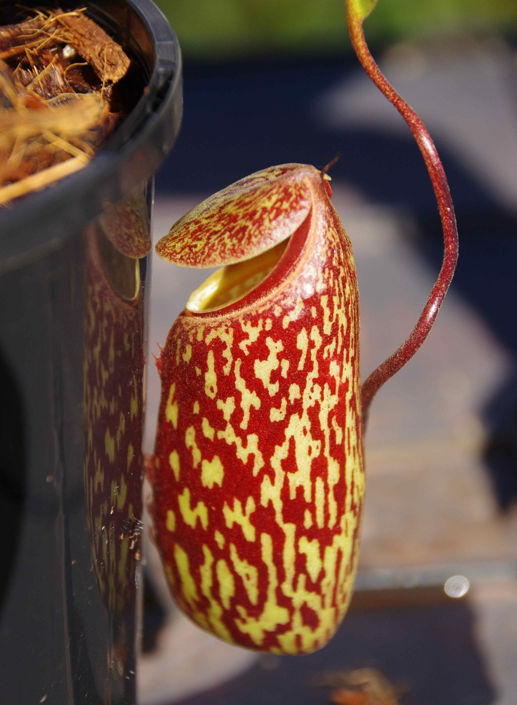 Nepenthes 'Red Leopard' a.k.a. Nepenthes ventricosa-squat x maxima
