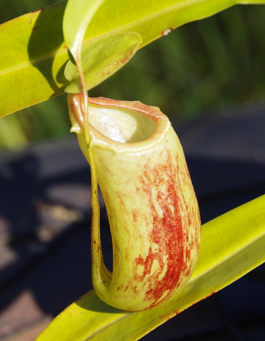 Intermediate pitcher, Nepenthes 'Red Leopard'