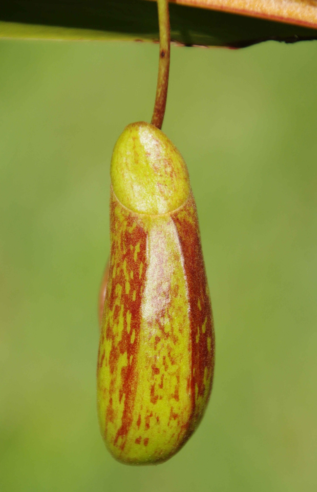 A wingless Nepenthes 'Red Leopard' pitcher