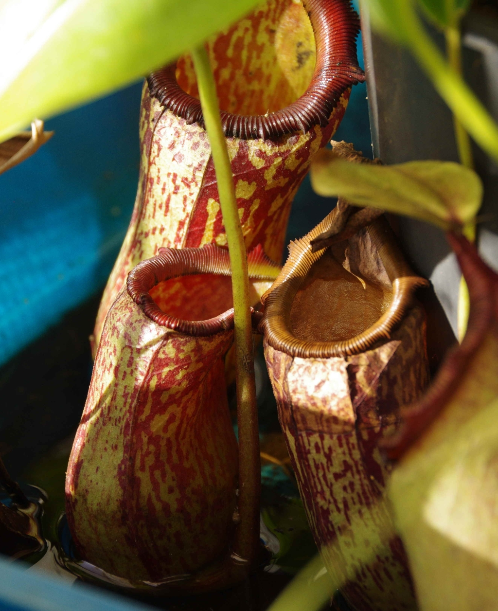 Nepenthes 'Red Leopard'